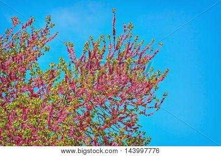 Judas Tree (Cercis Siliquastrum) against Blue Sky