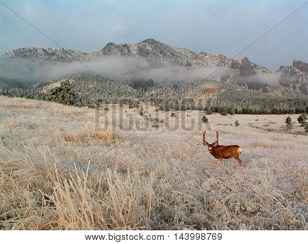 Large deer with Boulder Flatirons in the background