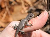 healthy young male northern fence lizard (sceloporus undulatus hyacinthinus) sunbathing on photographer's thumb poster