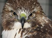 Close-up shot of Grace - our son's Red Tail hawk. poster