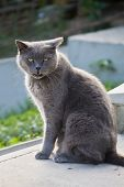 mewing gray cat with yellow eyes closeup poster