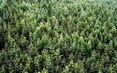 Green shades of spruce monoculture from view above poster