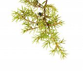 common juniper twig with ripe and unripe berries isolated on white background poster