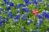 Closeup of a Cluster of Famous Texas Bluebonnet (Lupinus texensis) Wildflowers with a Single Standout Indian Paintbrush. poster