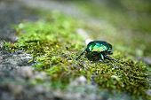 Chafer on moss, closeup poster