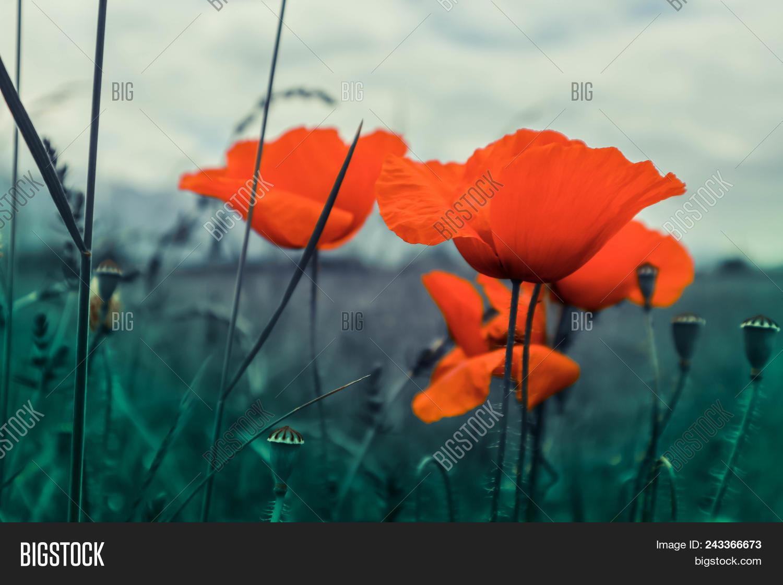 Beautiful Poppy Image Photo Free Trial Bigstock