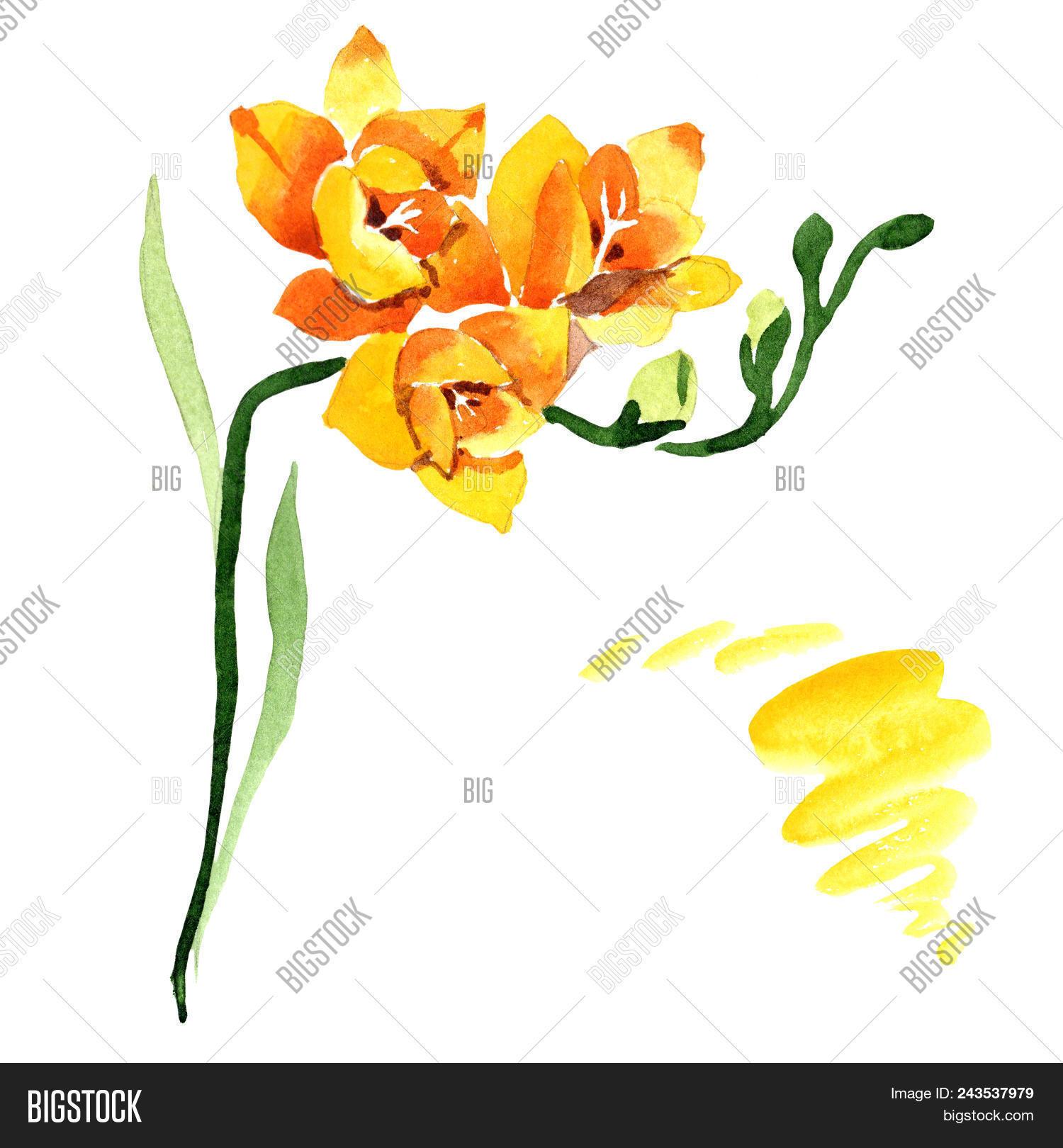 Yellow Freesia Floral Image Photo Free Trial Bigstock
