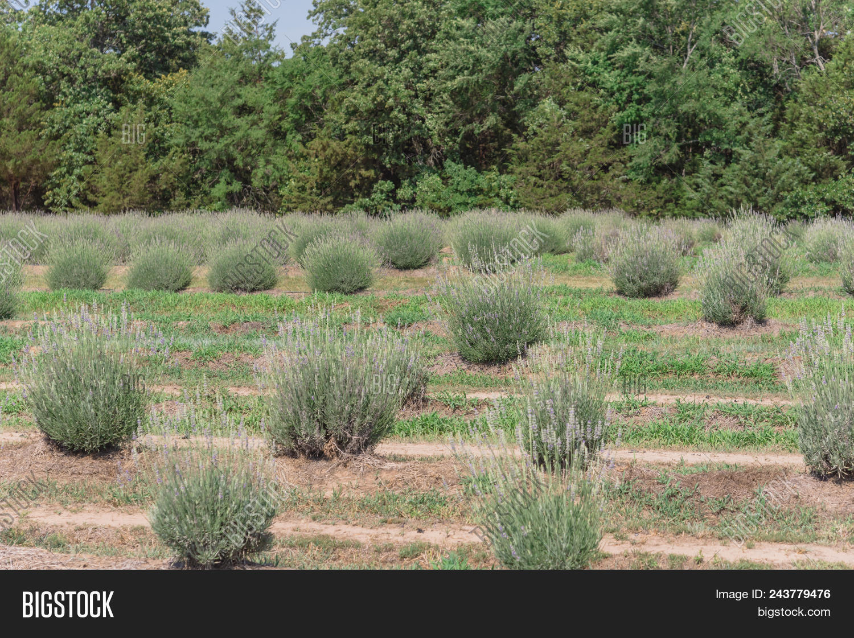 Local Lavender Farm Image & Photo (Free Trial)   Bigstock
