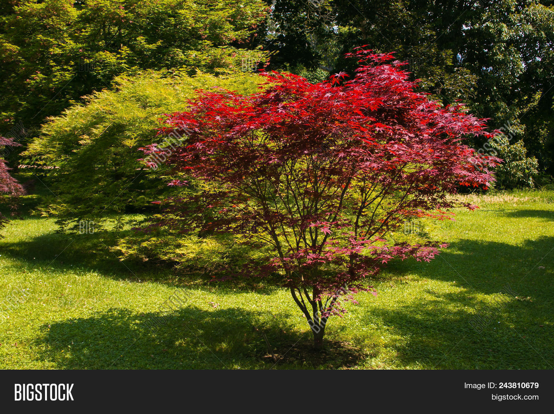 Acer Palmatum, Image & Photo (Free Trial) | Bigstock