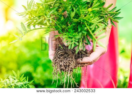 Summer Work In The Garden. Closeup Woman Replanting Flowers Plant, Female Hands Holds Marigold Flowe