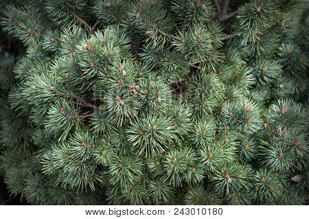 Closeup Of Fir Branches With Little Pinecones On Pine Needles As Background Ornament For Christmas A