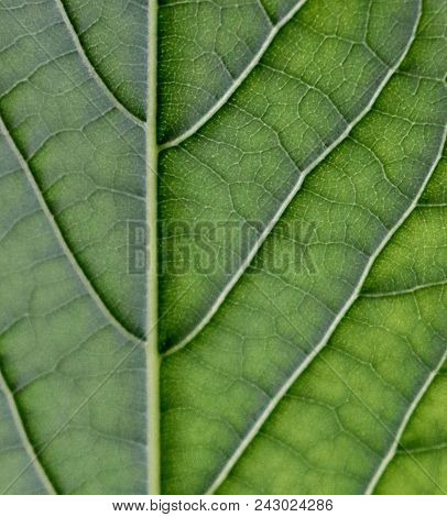 Green Leaf With Veins Visibly In Focus, Natural Leaf Veins, Leaf Veins, Close Up Of Leaf, Macro Shot
