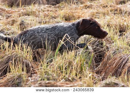 Hunting Dog German Wirehaired Pointer On The Meadow During The Bird Hunt