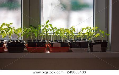 Saplings of tomato grow on the windowsill poster