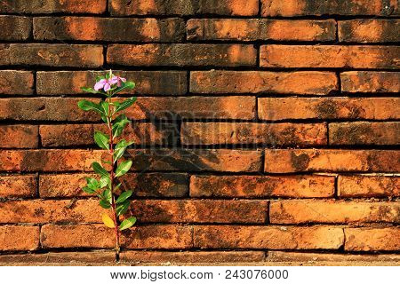 Catharanthus Roseus Grow Up From The Gap Between The Red Bricks. Hope And Brave Concept