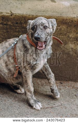 Cute Little Grey Puppy With Collar Sitting And Yawning In City Street.  Sweet Doggy With Sad Eyes, W