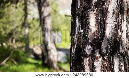 Tree trunk with crust detail. Blurred nature background. Photo of a sunny day at the forest. Space for text, close up view.