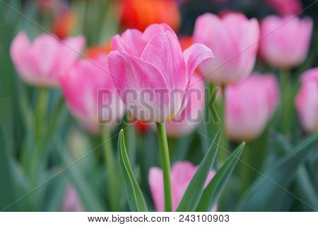 Tulip Background, Pink Flower Tulip Lit By Sunlight, Soft Selective Focus, Tulip Close Up
