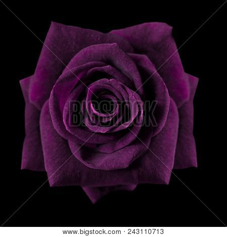 Dark Purple Roses Background, Purple Rose Isolated On Black Background, Greeting Card With A Luxury