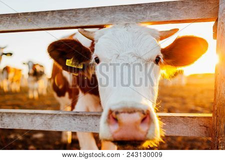 Close-up Of White And Brown Cow On Farm Yard At Sunset. Cattle Walking Outdoors In Summer Countrysid