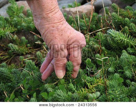 Arthritic hand weeding the garden