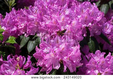 Rhododendron in bright morning sun. It is a genus of 1,024 species of woody plants in the heath fami