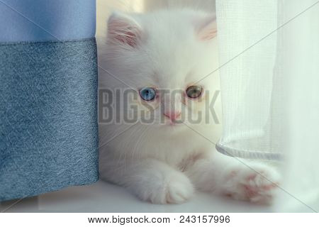 Adorable Pure White With Odd Different Blue And Green Eyes Persian Cat Sitting Behind The Navy Blue
