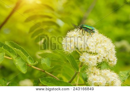 Green Beetle On A Flower Of Mountain Ash