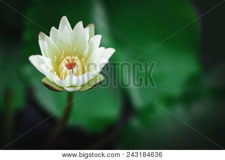 ฺฺbeautiful Lotus Flower Is Complimented By The Rich Colors Of The Deep Blue Water Surface.