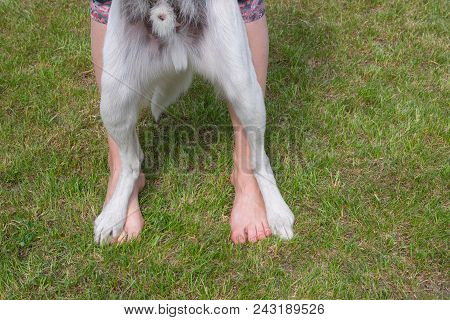 Dog Standing With Hind Legs On Master Feet