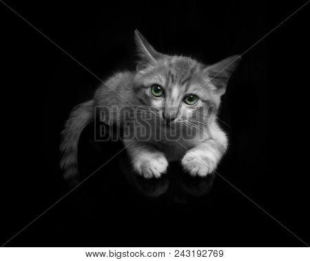 Big Cat, Beautiful Cat, Purebred Cat, Fluffy Cat, Proud Cat, Gray Cat - Big British Shorthair Cat Po