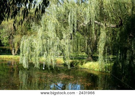 Reflections Of A Weeping Willow