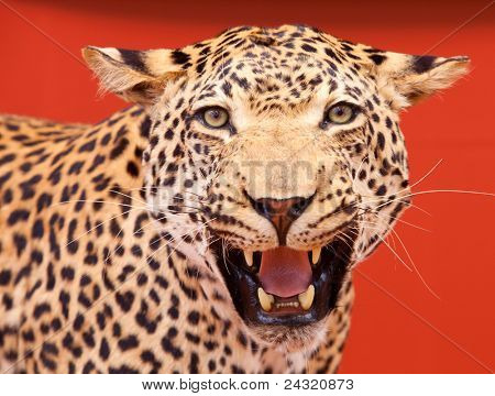 Nice portrait of a leopard stuffed with red background