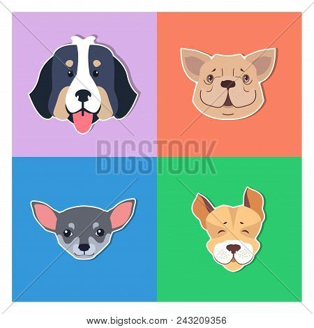 Four canine heads of pedigreed dogs set on colored background. Vector illustration of heavy Bernese Mountain Dog, smiling French Bulldog, small face of Chihuahua and funny Jack Russell Terrier poster