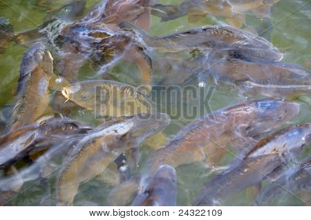 Many Carp Fishes In A Water During Feeding Time