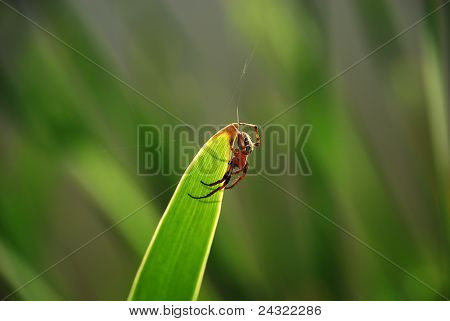 Closeup Of A Cross Spider On A Green Leaf