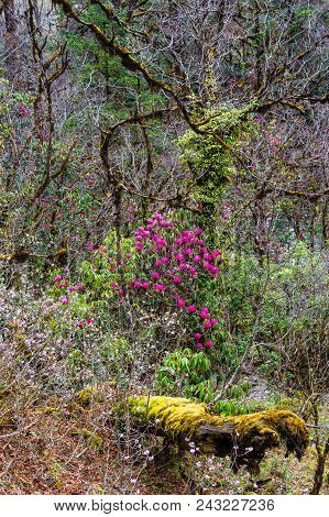 Bright Rhododendron Flowers In The Dense Thickets Of The Forest.