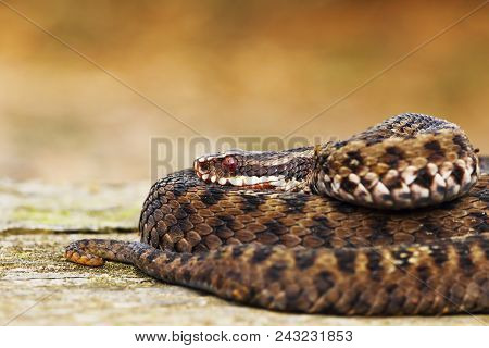 beautiful common european adder ( Vipera berus ), the most widespread venomous snake from Eruope poster