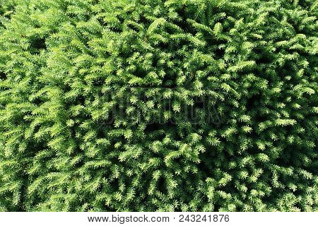 Background Of Fresh Green Leaves Of Conifer