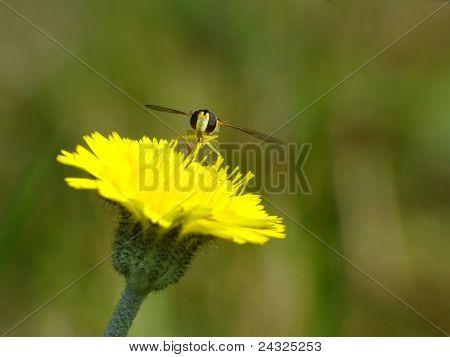 Little bee on a ellow flower