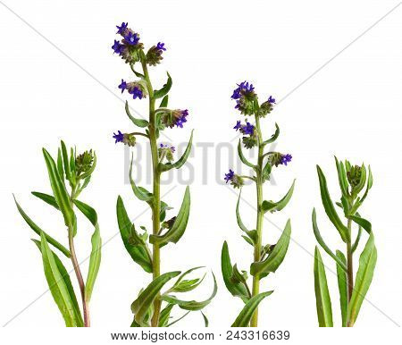Anchusa Officinalis, Commonly Known As The Common Bugloss Or Alkanet. Isolated On White Background.