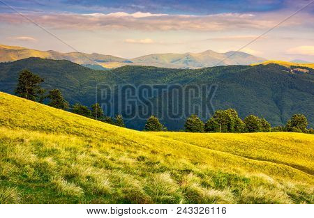 Row Of Trees On Grassy Hillside In Evening. Svydovets Mountain Ridge In The Distance Under  The Colo