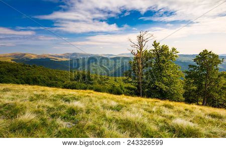 Beech Trees On A Meadow Of Svydovets Ridge. Beautiful Landscape Of Carpathian Mountains In Late Summ