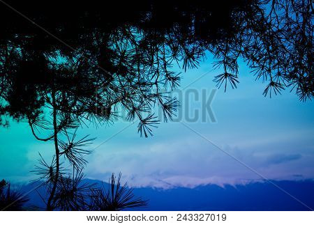 Photo Depicting A Bright Violet Colored Evergreen Pine Three Branch. Fir-tree, Conifer, Spruce Close