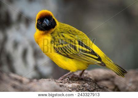 Masked Weaver Bird Facing Camera On Log