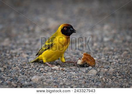 Masked Weaver Bird On Gravel With Crust