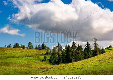 Spruce Woodlot On A Grassy Hillside. Lovely Nature Scenery. Blue Sky With Huge Fluffy Cloud