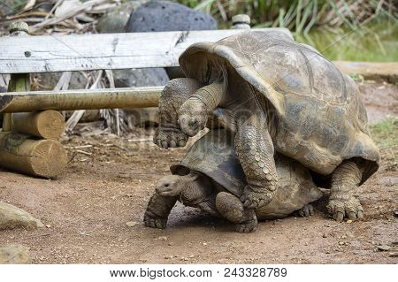 Two Giant Turtles, Dipsochelys Gigantea Making Love In Island Mauritius. Copulation Is A Difficult E