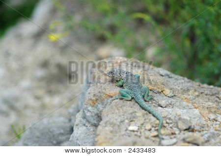 Eastern Collared Lizard Basking