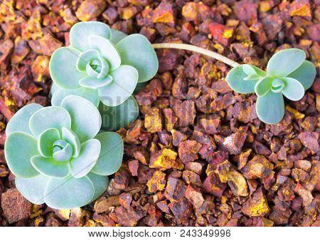 Succulent Plant Stonecrop, Fresh Leaves Detail Of Orostachys Furusei Ohwi